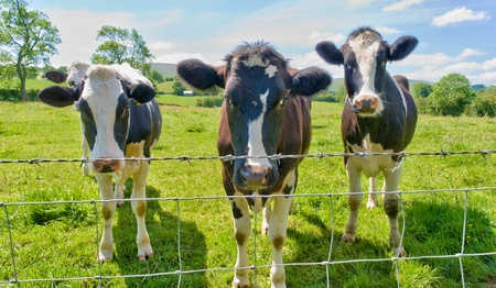 cattle wire wire: Three curious cows standing behind a barbed wire fence. Stock Photo