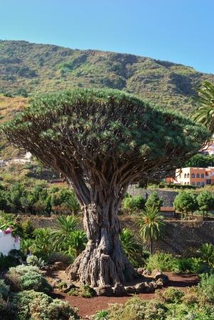 Słynne drzewo Dragon w Icod de los Vinos, Teneryfa, Wyspy Kanaryjskie Zdjęcie Seryjne