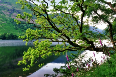 An Oak Tree and Foxgloves on the edge of Brother s Water, a lake in the English Lake District Stock Photo - 15160266