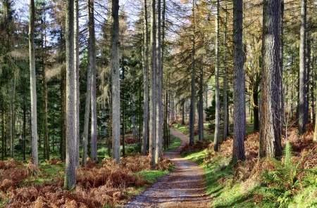 A path leading through a forest of Larch; tall deciduous coniferous trees, on a sunny winter day, with a bracken covered forest floor Stock Photo - 17176823