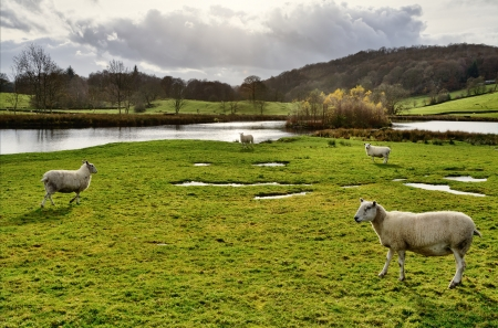 Rural scene with sheep on grassy pasture land, set by a lake in the Winster Valley, in the English Lake District, on a sunny autumn day