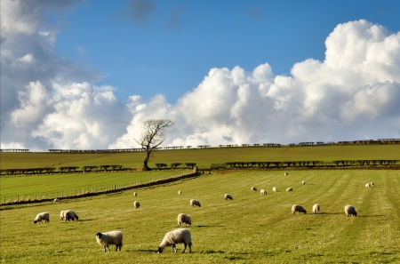 View of fields with sheep grazing in the English countryside, set again a blue sky with cumulus clouds on a sunny winters day  Stock Photo - 19422491
