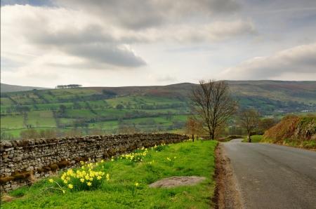 grass verge: Una strada di campagna nel Yorkshire Dales, Inghilterra, delimitato da un muro di pietra e ciglio erboso con narcisi, impostare nuovamente uno sfondo di colline Archivio Fotografico