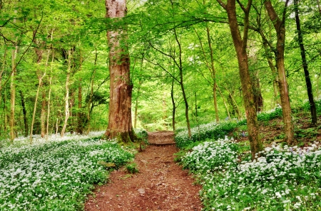 Shady path running through an English woodland with a fresh leafy canopy of trees and floor carpeted with wild garlic Stock Photo - 20298995