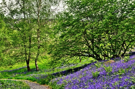 Bluebells growing on a grassy bank by a small path winding through trees Stock Photo - 21933960