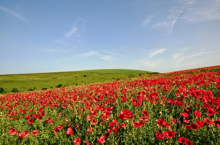 View of a field with vivid red poppies set against a blue sky on an English summer day Stock Photo - 21933963
