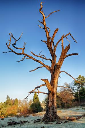 Ein abgestorbener Baum auf einem eisigen Winter morgens unter einem blauen Himmel.