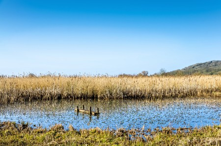Reeds in marshland at Leighton Moss RSPB bird reserve against blue skies in Lancashire, England on sunny day.