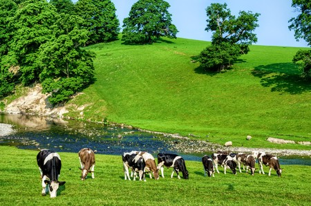 Grazing cattle in green field next to River Bela in Cumbria, England on sunny day. Stock Photo