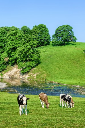 Cattle grazing in green grass of field next to River Bela in Cumbria, England against blue skies on sunny day. Stock Photo