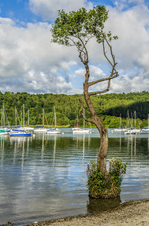 Yachts moored on Lake Windermere at Bowness with a spindly tree growing with its roots in water close to the shore. Stock Photo
