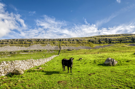 Cows standing in green fields in the Yorkshire Dales near Ingleton, England on sunny day. Stock Photo