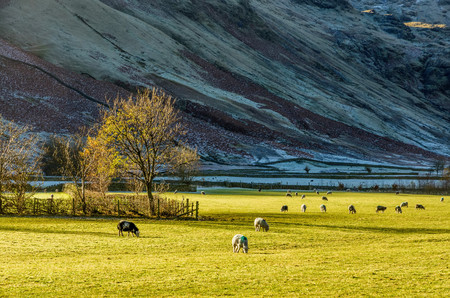 districts: Sheep grazing in field in English Lake District near Langdale, UK.