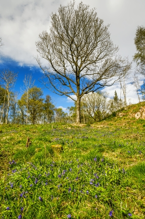 A blubell covered slope in Cumbria on a Spring morning with a background of trees