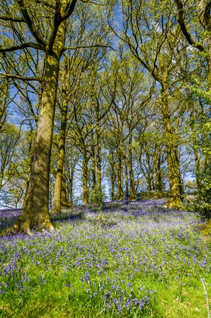 Bluebells in a Northern English wood Stock Photo