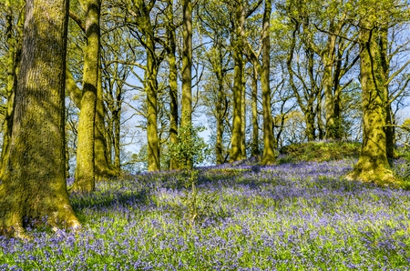 Bluebells in Northern English woodland. Stock Photo