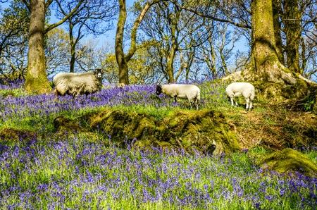 amongst: Sheep grazing amongst Bluebells.