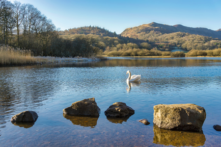 A swan on Elterwater with hills in the background and a row of rocks in the foreground