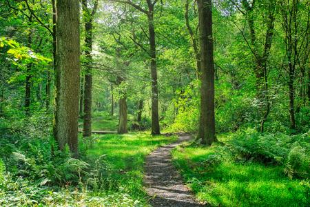 a footpath running through an English forest.
