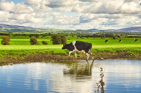 A cow stepping from a river onto pasture. 免版税图像