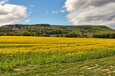 A field of mustard seed crop in East Sussex.