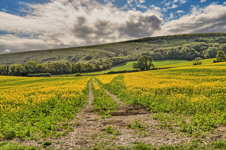 A field of mustard seed crop in East Sussex with a farm track. 免版税图像