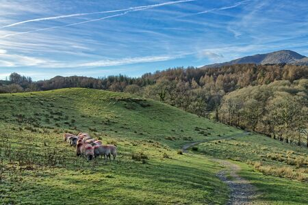A small flock of sheep grazing in Little Langdale.