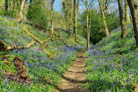 a path through an English wood with bluebells
