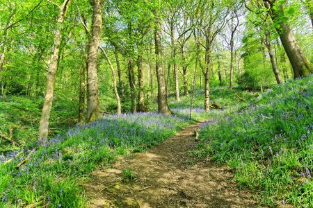 A path through an English Bluebell wood on a sunny Spring day