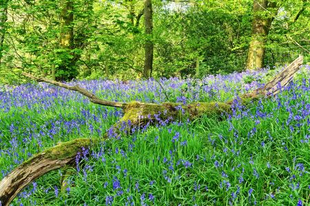 A bluebell wood in The Lune valley, Lancashire, England