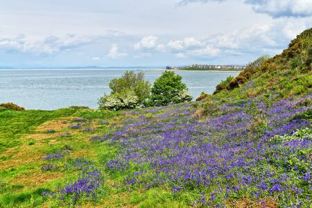 Bluebells on Heysham Head, Lancashire, Northern England 免版税图像