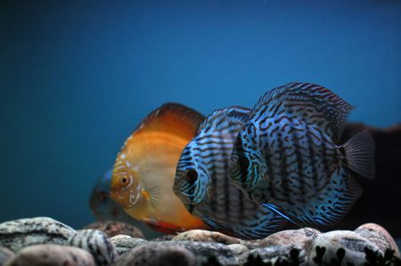 three coloured fish in cristal blue water in aquarium Stock Photo - 8170888