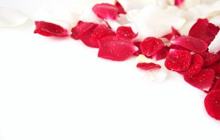 rosas rojas: Pétalos de color blanco y rojo de la rosa con gotas de agua sobre un fondo blanco.