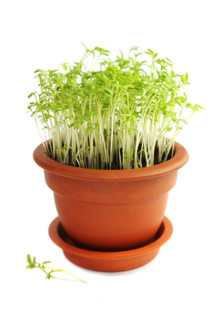 Sprouts of cress salad in ceramic poton a white background