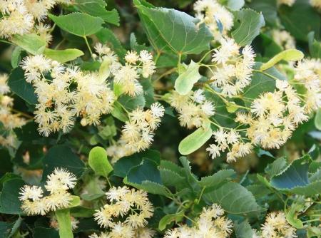 linde: Linden Baum mit wei�en Bl�ten