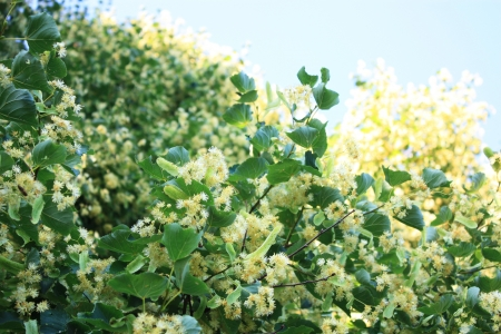 tilia cordata: Linden tree with white flowers