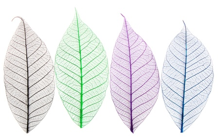 Skeletons of leaves of different colors photo