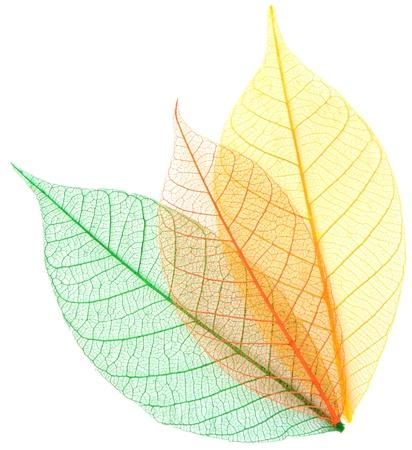 Skeleton leaves on a white background