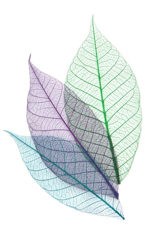 infirm: Skeletons of leaves of different colors Stock Photo