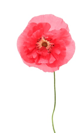 Pink poppy isolated on white background photo