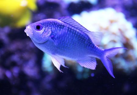 viridis: Blue fish chromius viridis at home aquarium.