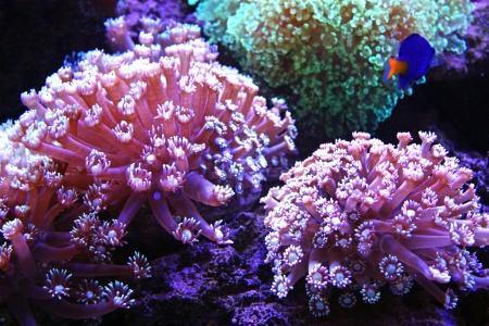 Colorful aquarium with bright coral Goniopora.