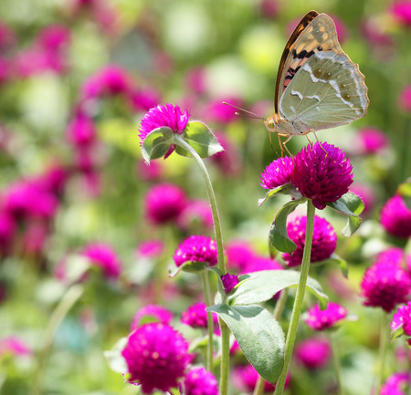 The beautiful butterfly which sits on pink flower