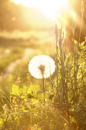 Dandelion flowers on green spring meadow and sunrise. photo