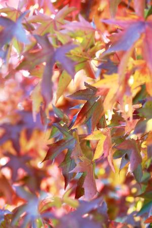 changing color: Ca�da rojo, naranja y amarillo las hojas cambiando de color.
