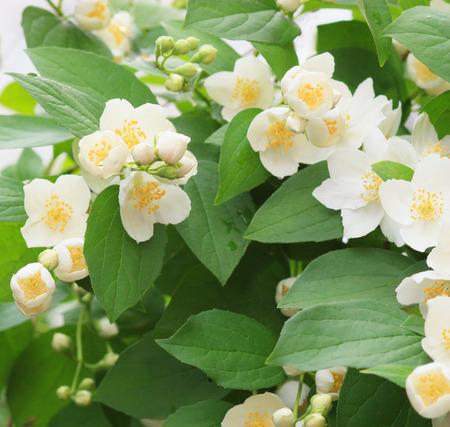 jasmine bush: Blossoming flowers jasmine bush background.