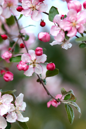 Pink apple tree flowers on nature background.