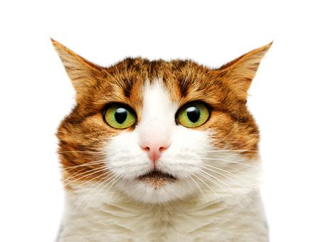 housecat: Cat portrait isolated on white background Stock Photo