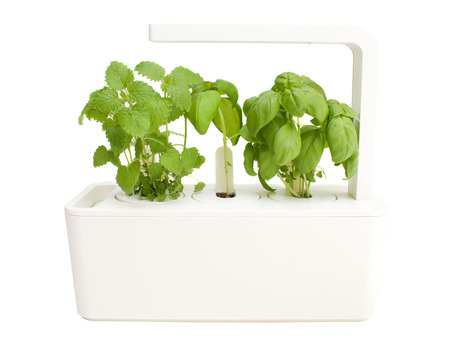 automatically: Basil and lemon grass in smart herb pot with lemp.