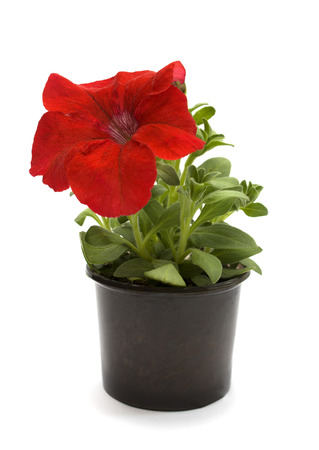Petunia flower of red color isolated on white. photo
